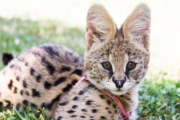 Африканский кот сервал