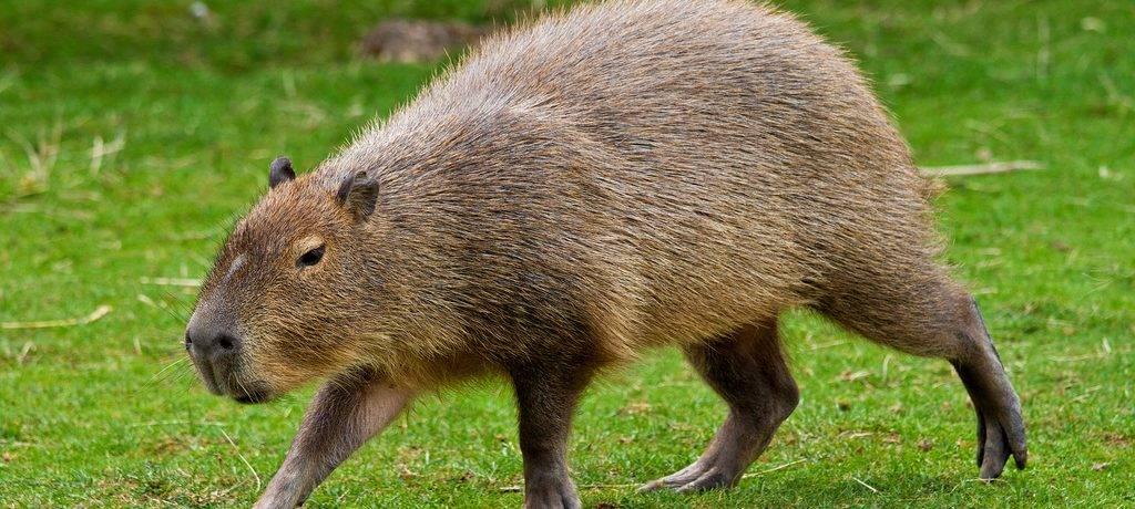 Свинка капибара