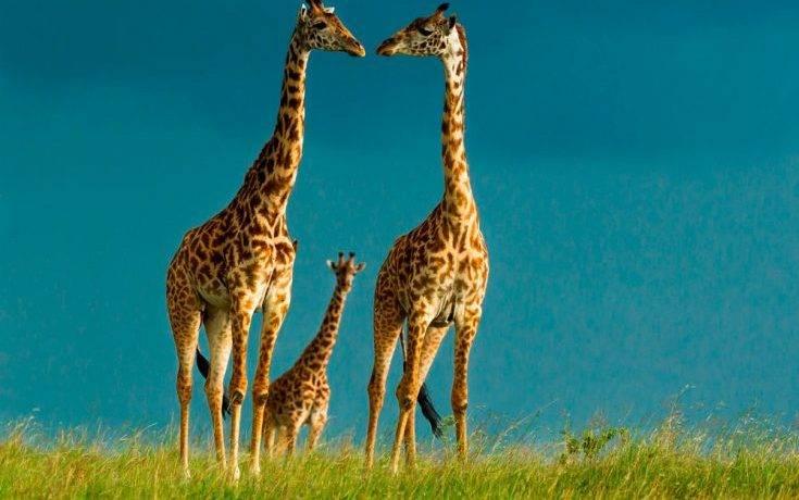 Сколько метров жираф