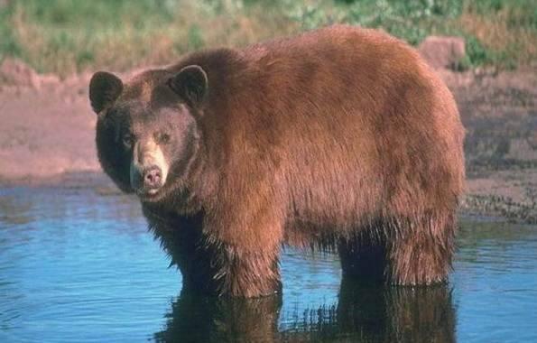 Животное похожее на медведя
