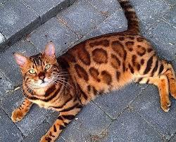 Порода кошек с окрасом леопарда