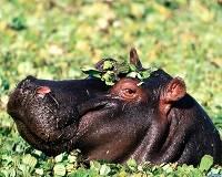 Какая высота у бегемота