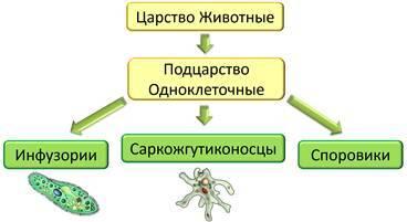 Клетка одноклеточного животного