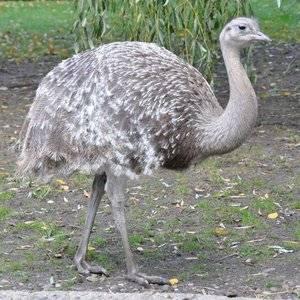 Какую скорость развивает страус