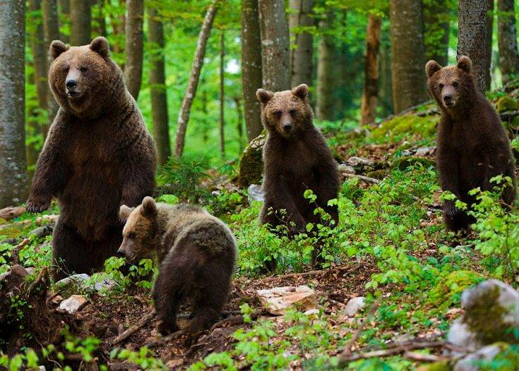К какому семейству относится медведь