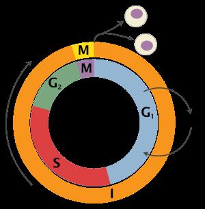 Схема жизненного цикла клетки