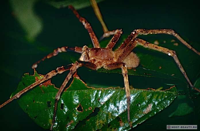 Съедобные пауки