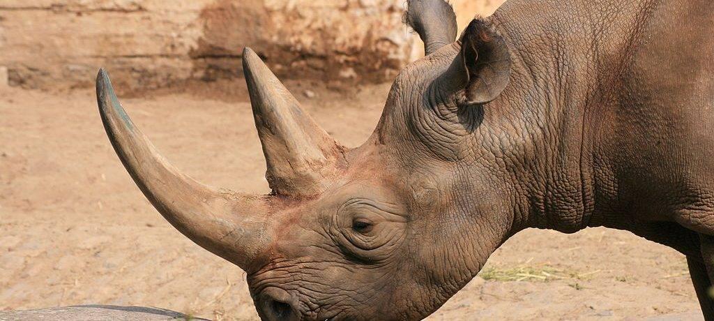Чёрный носорог фото