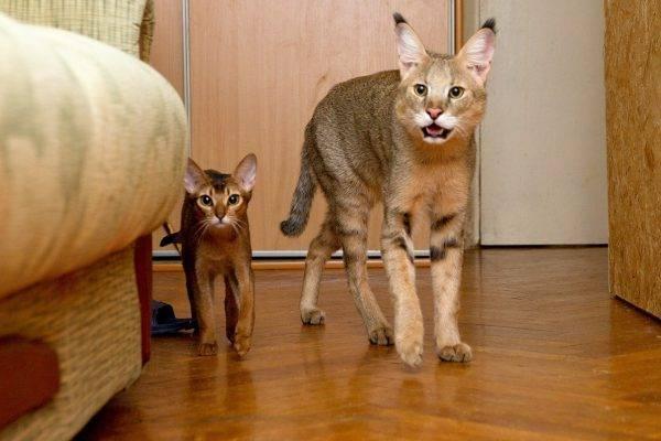 Камышовая кошка фото
