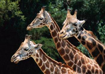 Цвет языка жирафа