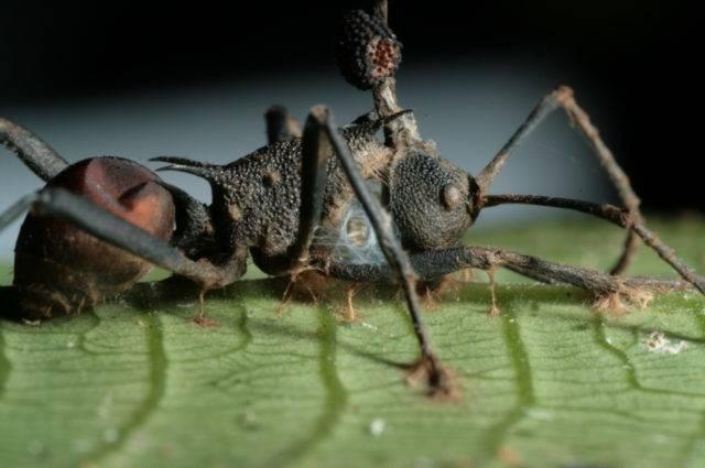 Человек насекомое