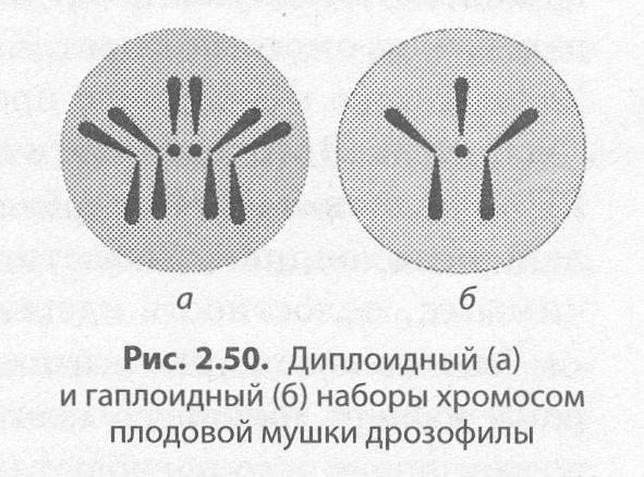 Число хромосом в половых клетках