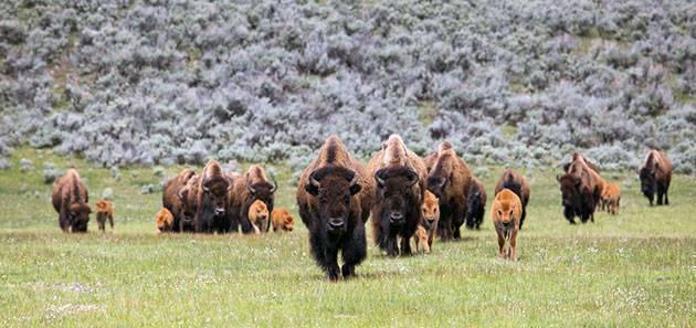 Где живет бизон материк