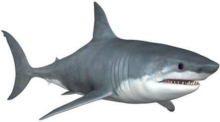 Чем питается белая акула
