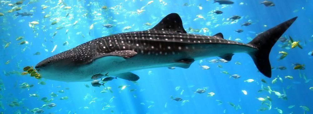 Какая самая большая рыба в мире фото
