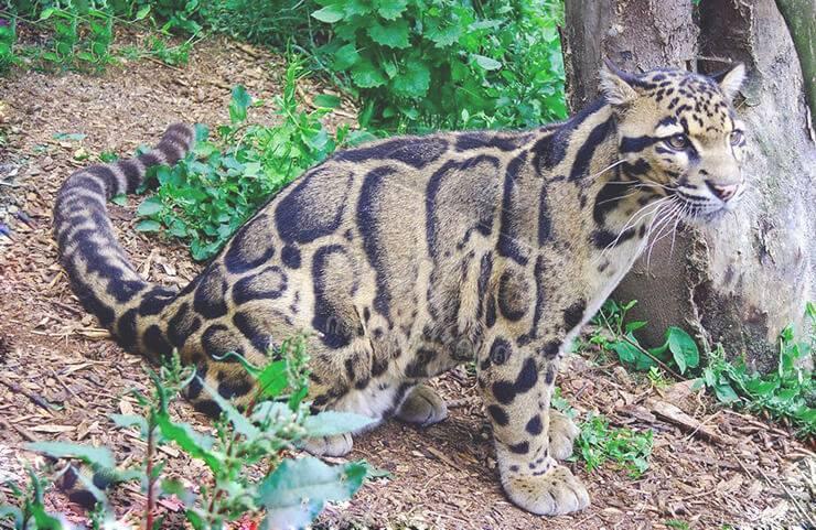 Дымчатый леопард в домашних условиях