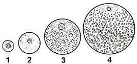 Сближение гомологичных хромосом в процессе мейоза называется