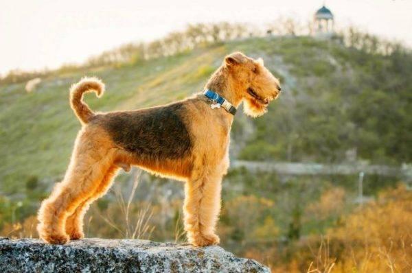 Средние собаки породы название
