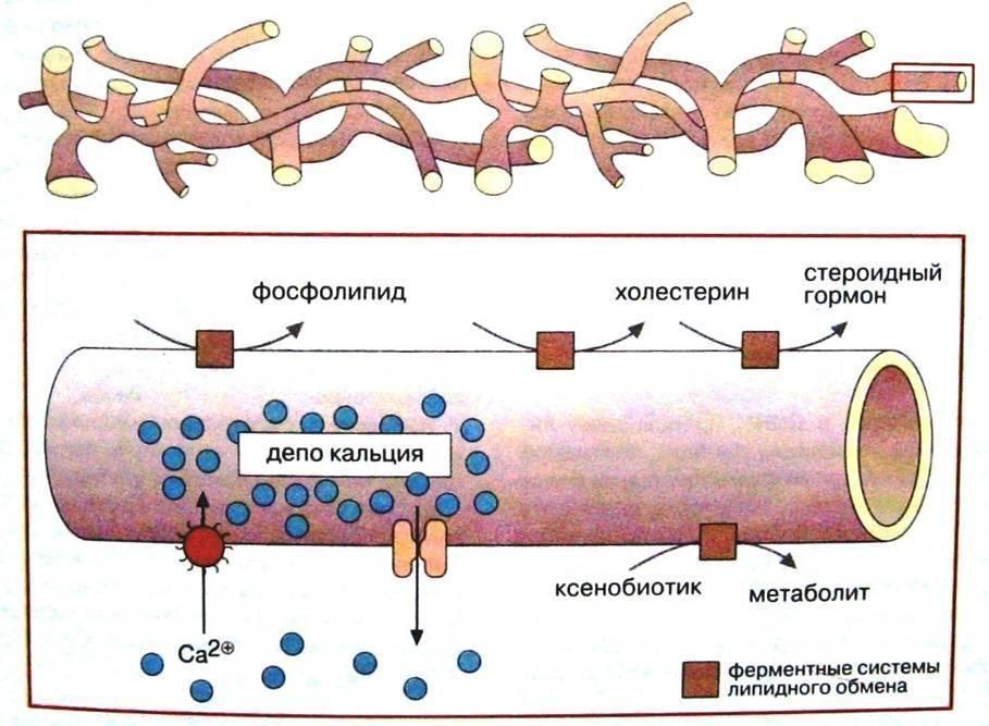 Некоторые виды молекул образуют рибосомы