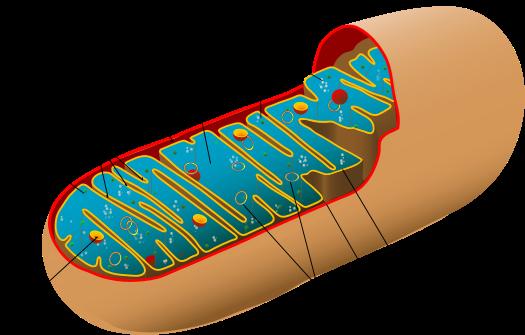 Складки внутренней мембраны митохондрии образуют