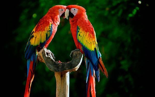 Животное ара