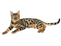 Бенгальская кошка размеры и вес