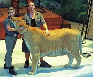 Самые большие львы