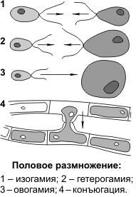 Виды бесполого размножения таблица с примерами