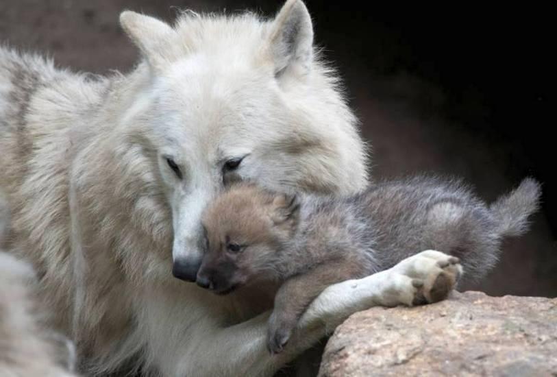Где живут волки в россии