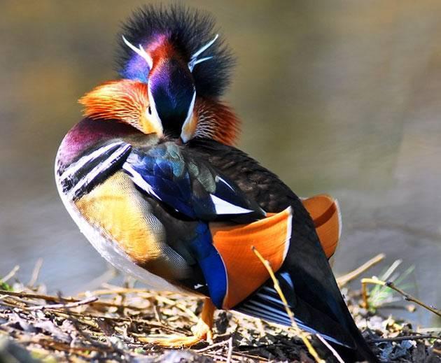 Мандариновая утка