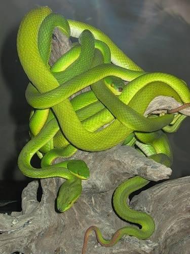 Как скрещиваются змеи