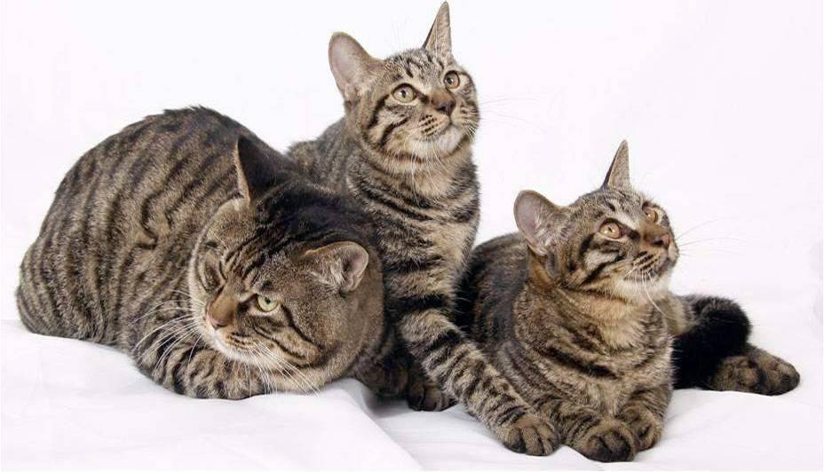 Китайские кошки фото