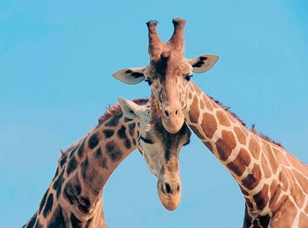 Жираф место обитания