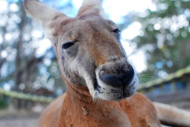 Животные австралии на английском языке