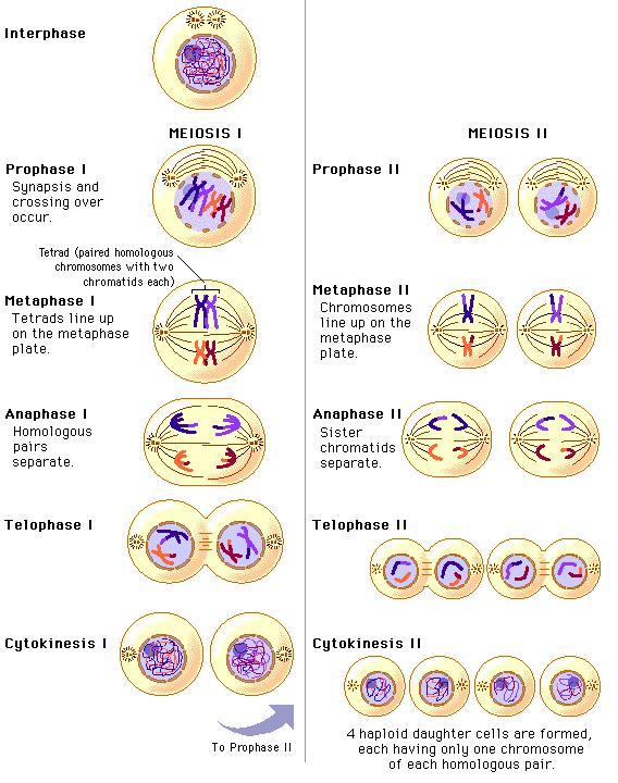 Что называется цитокинезом
