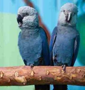 Черный ара