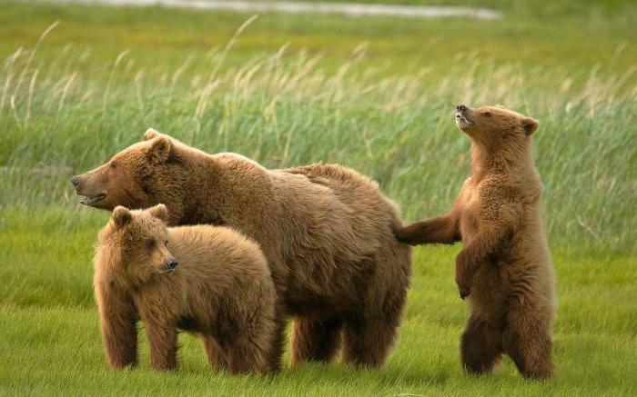 Сколько весит белый медведь самый большой