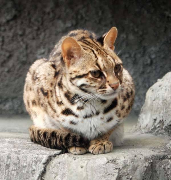 Котята похожие на леопарда