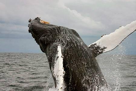 Зачем киты выпрыгивают из воды