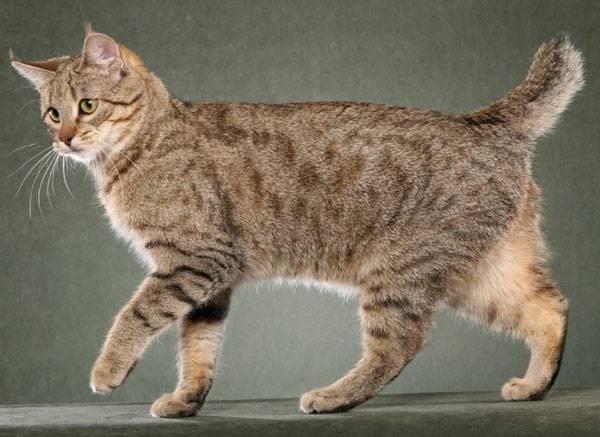 Кошки с длинным хвостом порода