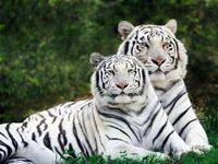 Где водятся тигры в мире