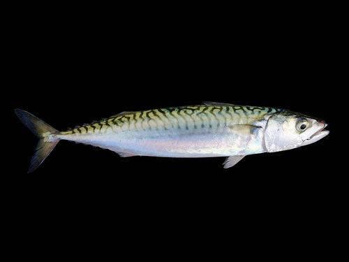 Промысловые рыбы россии список