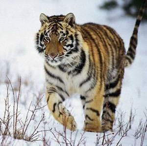 Сколько амурских тигров осталось на земле