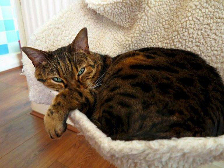 Бенгальские котята описание породы