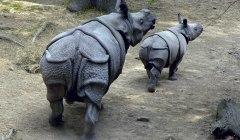 Сообщение о носороге