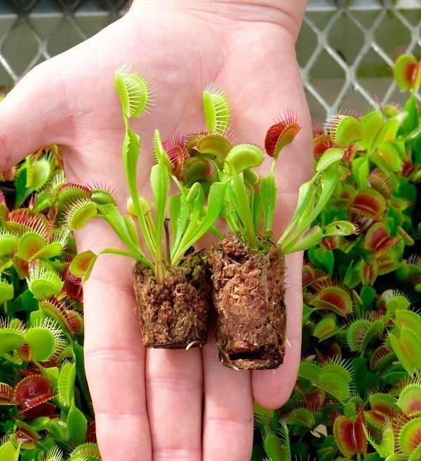 Растение мухолов