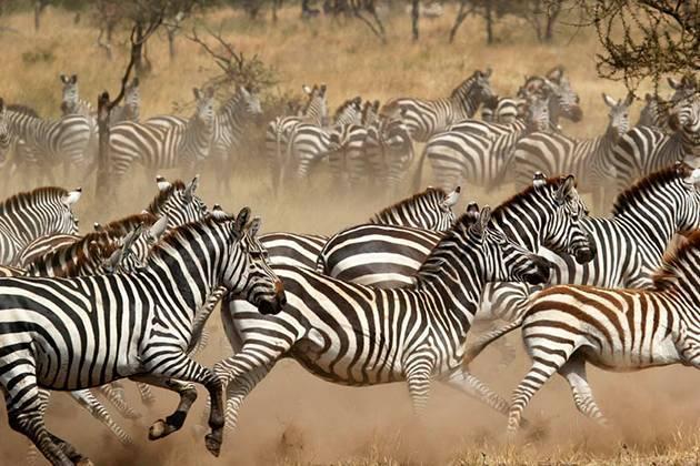 Среда обитания зебры