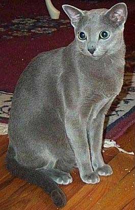 Вид животного кошка