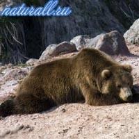 Чем питается бурый медведь в лесу