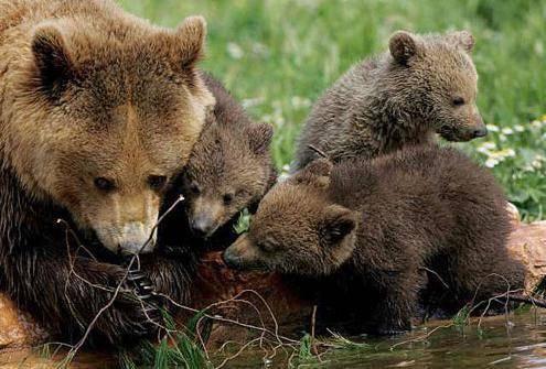 Бурый медведь приспособления к среде обитания